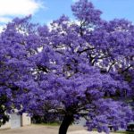Top Spots To View The Jacarandas Bloom In Joburg