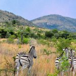Game Viewing Within Driving Distance From Johannesburg