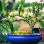 Garden Shop SA's annual Bonsai Show