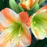 Clivia Flower Show