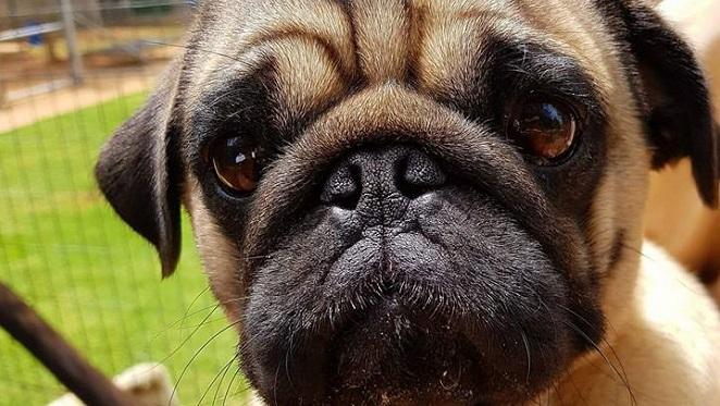 Spoil A Rescue With Pug Rescue SA