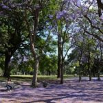 The Kensington Jacaranda Walk