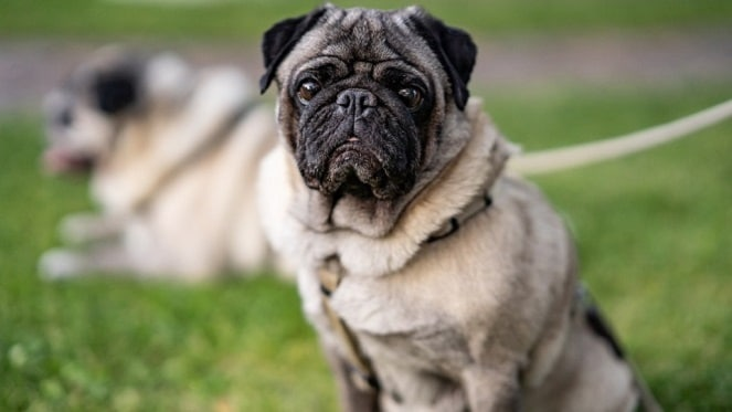 Back A Pug: Pug Rescue Needs Your Help