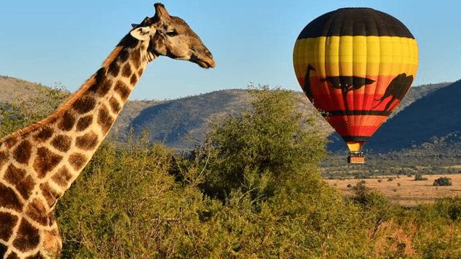 Giraffe and air balloon