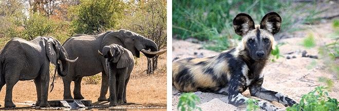 senalala safari lodge safari game drive elephants and wild dogs