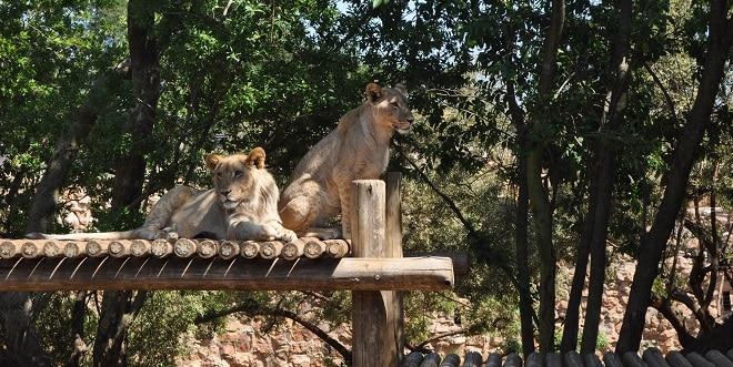joburg zoo lions